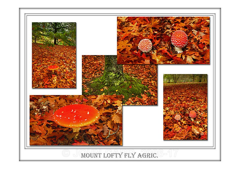 Beautiful Wall Art print  with a Border, showing a selection of Fly Agaric Toadstools, South Australia.