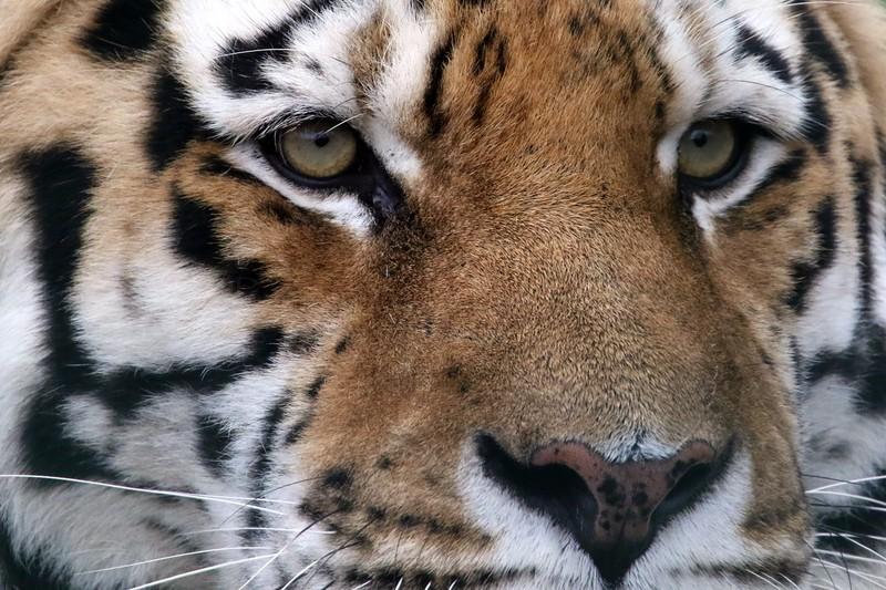 Amur Tiger - Big cats