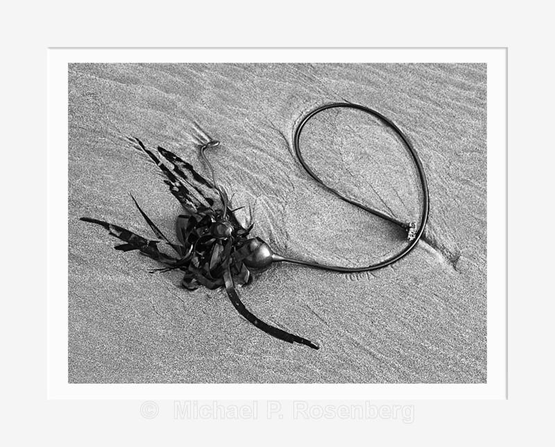 Circular Kelp, Bandon Beach OR (2013/D2304) - Pacific Coast