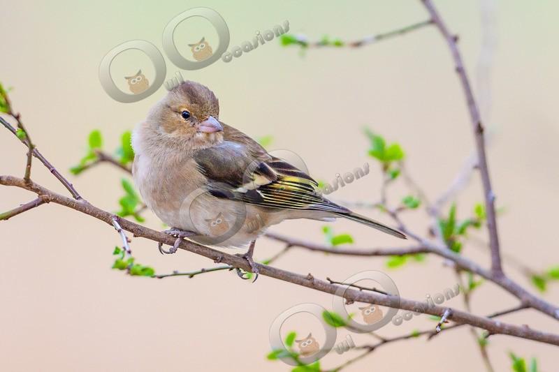 chaffinch Fringilla coelebs 3263 - UK birds