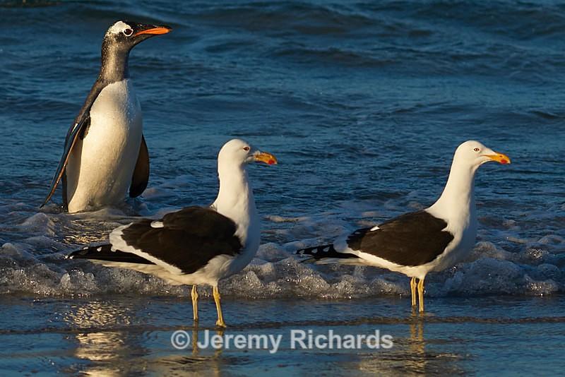 Gentoo Penguin coming ashore - Saunders Island