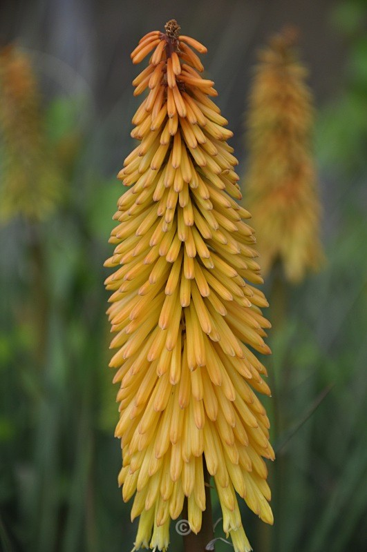 Kniphofia - Red Hot Poker - FLOWERS