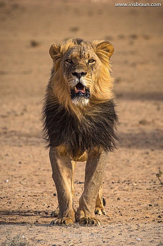 Big Boy - Lion