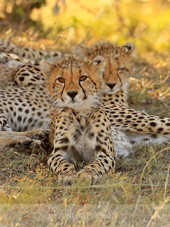 Cheetah cub resting in the shade from the midday sun - Cheetah