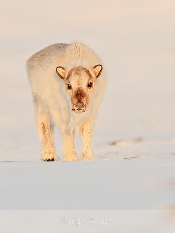 Reindeer calf front, Svalbard, Norway - Reindeer