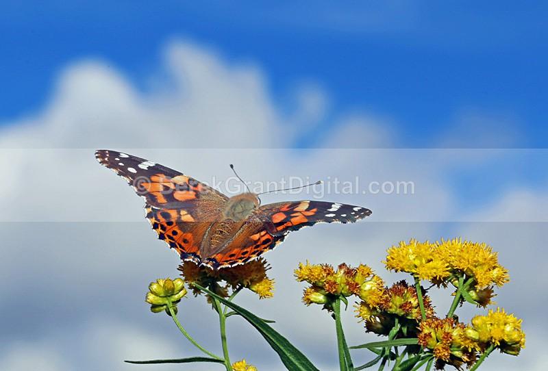 Vanessa cardui - Butterflies & Moths of Atlantic Canada
