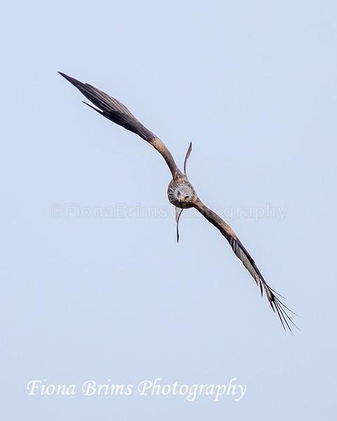Red Kites  November-100 - Birds of Prey