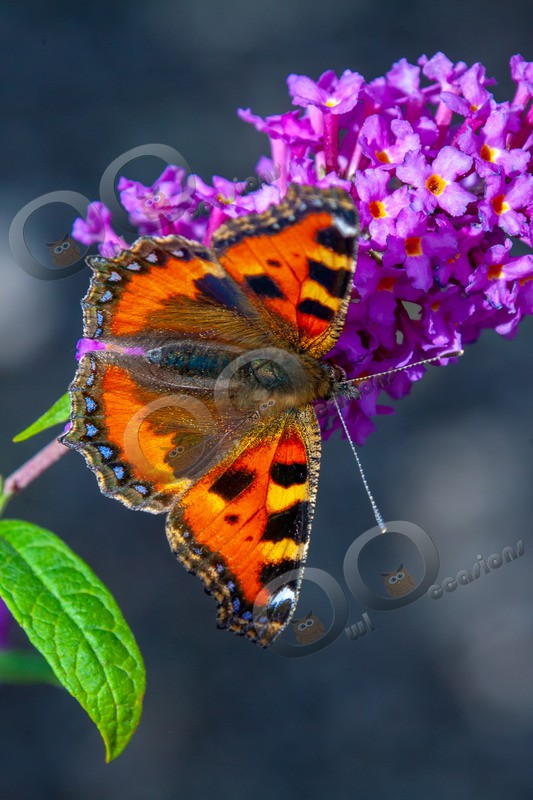 tortoiseshell butterfly Aglais urticae-7031 - Insects from around the world