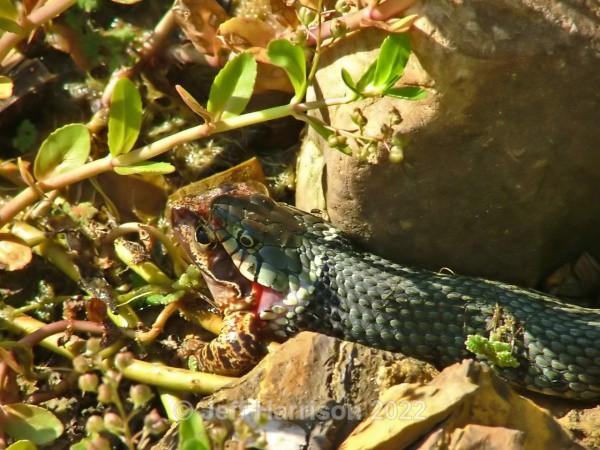Grass snake (image GS 001) - Reptiles