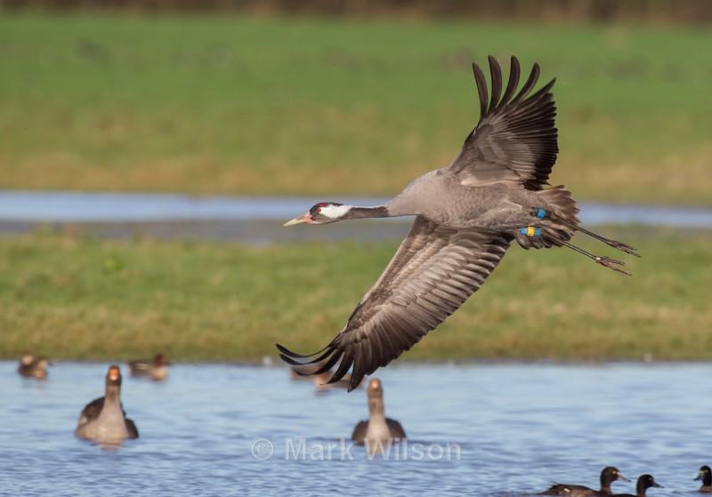 Common Crane - Herons, Egrets & Cranes