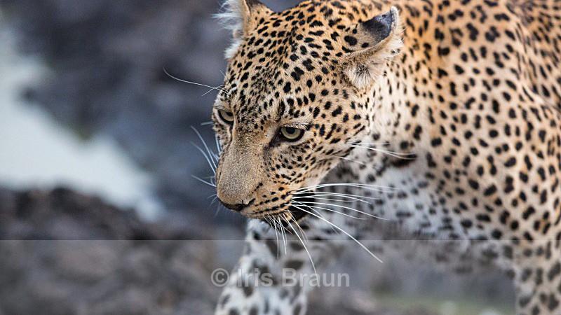 Close - Leopard