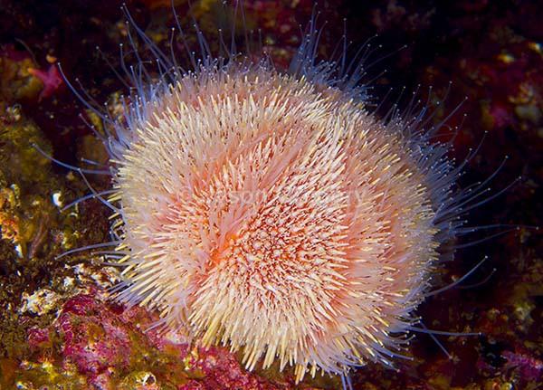 Echinus esculentus - Sea Urchins (Echinodermata)
