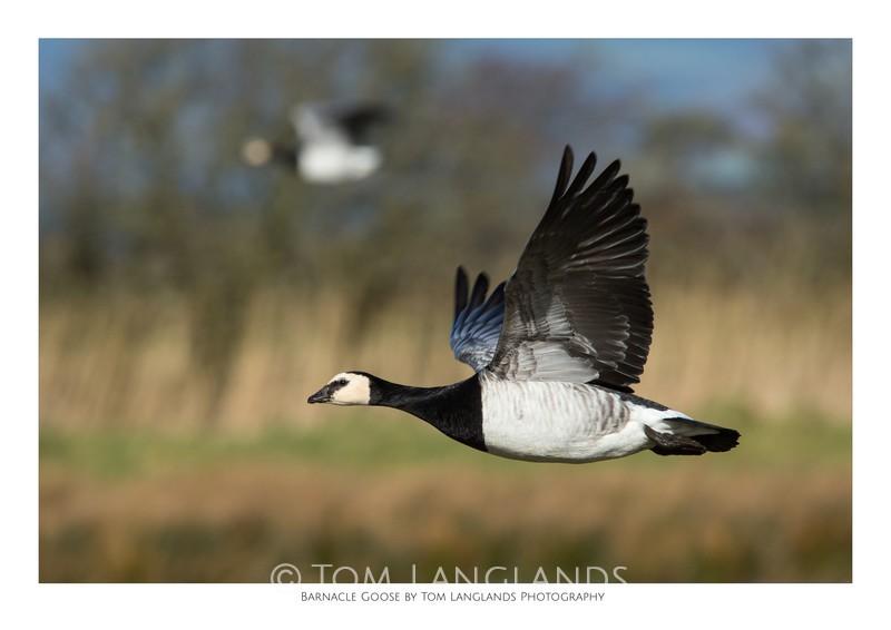 Barnacle Goose - Fine Art Prints