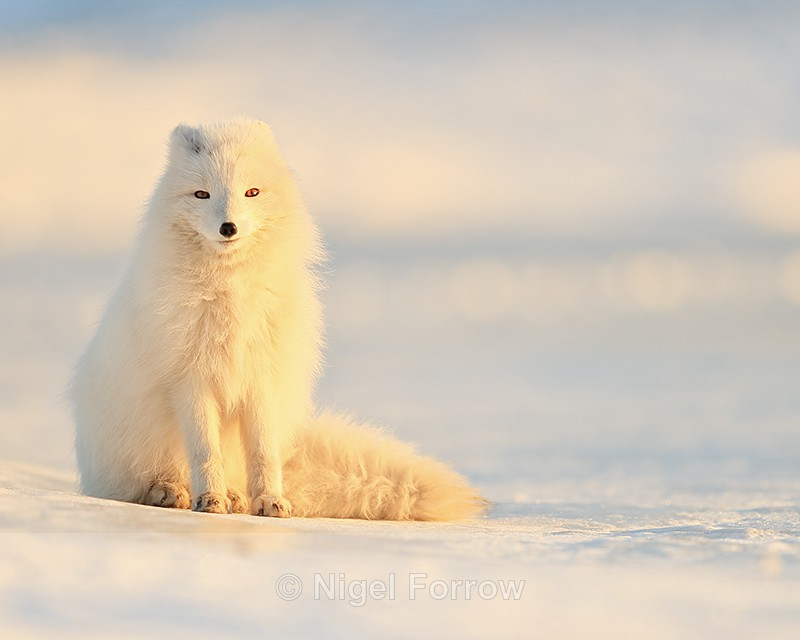 Arctic Fox sat on snow, Svalbard, Norway - Arctic Fox