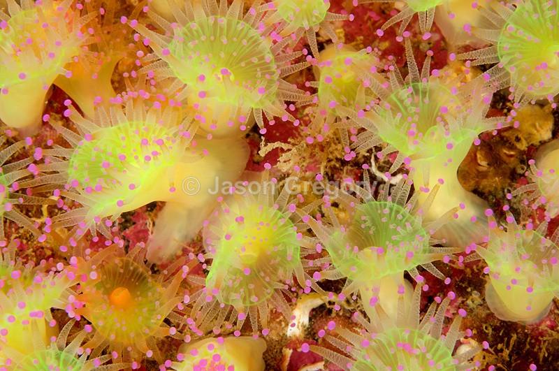 Corynactis viridis - Anemones (Anthozoa)