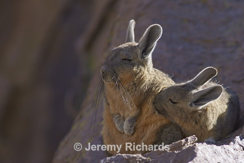 Mountain Viscacha Snuggling - Wildlife of Chile
