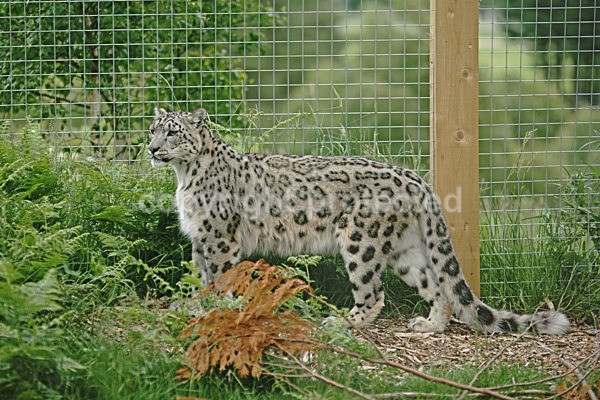 - Snow Leopards