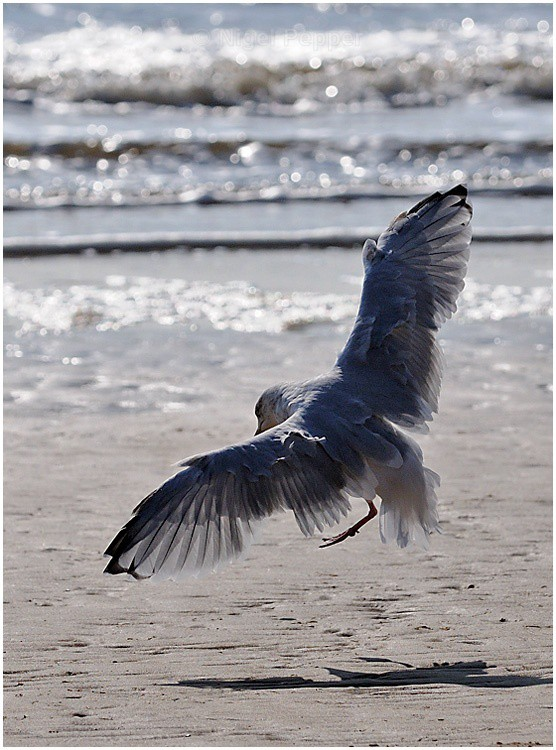 Arriving - Leggy the Herring Gull