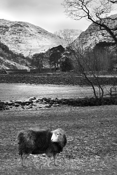 Heardwick Lakeland Sheep - Monochrome Photograph's