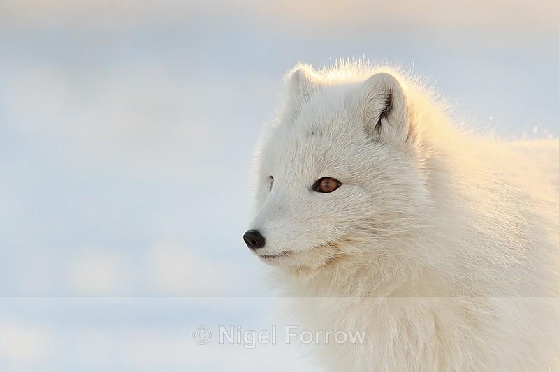 Arctic Fox in close profile, Svalbard, Norway - Arctic Fox