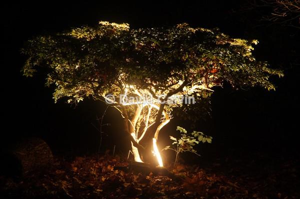 Illuminated Tree - Nocturnal