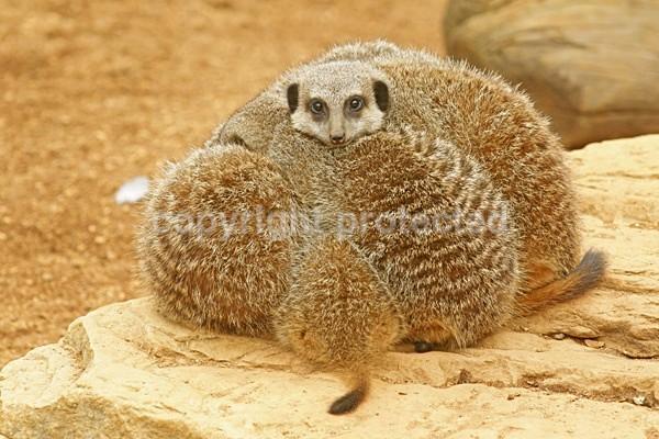 Meerkats sleeping - African Wildlife