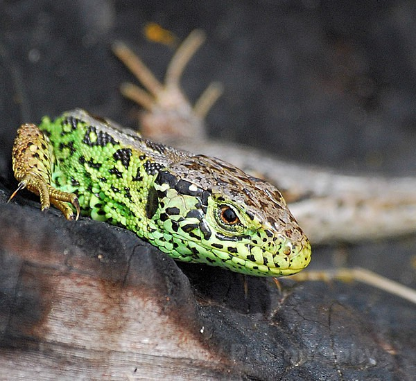 Sand Lizard, Dawlish Warren NNR, Devon - Reptiles and Amphibians