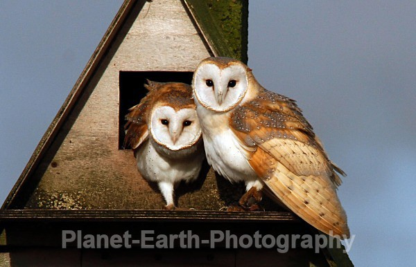 - Barn Owls & Waxwings