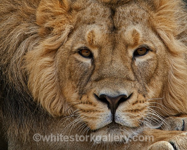 African Lion - Wildlife and Animals