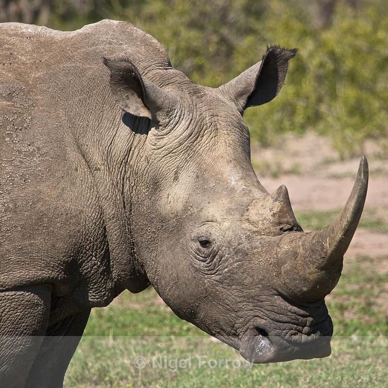 White Rhinoceros close-up - Rhinoceros