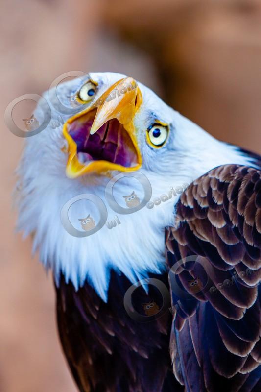 Bald eagle Haliaeetus leucocephalus-1056 - BoP from around the world
