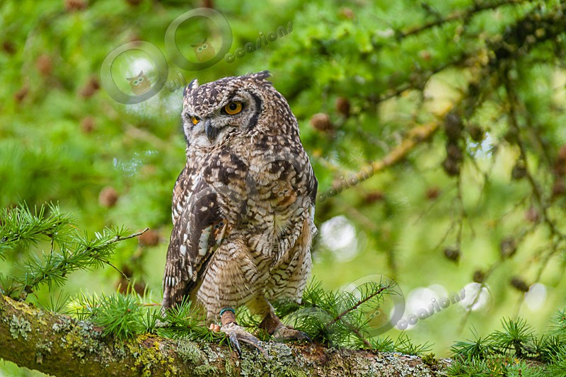 Bubu the African Spotted Eagle Owl - Our Birds