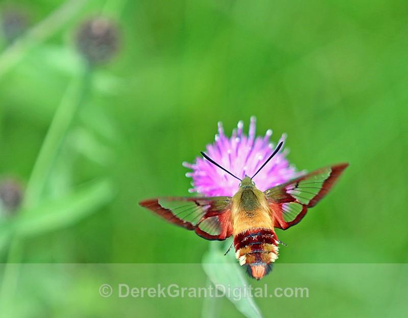 Hummingbird Clearwing Moth - Butterflies & Moths of Atlantic Canada