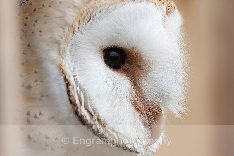 Barn Owl Profile-R7551 - Birds