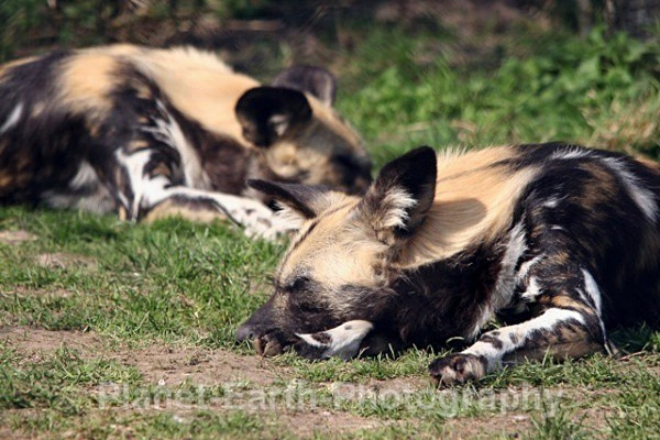 African Wild Dog 10 - African Wild Dogs