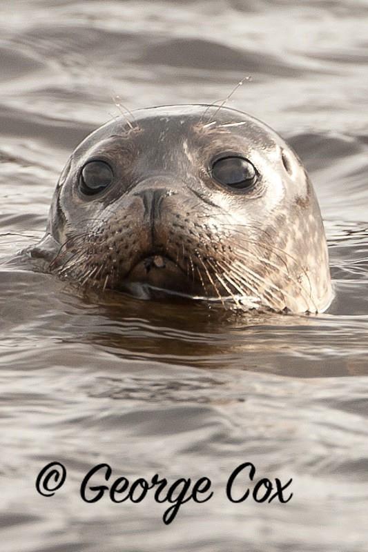 Common Seal - Mammals