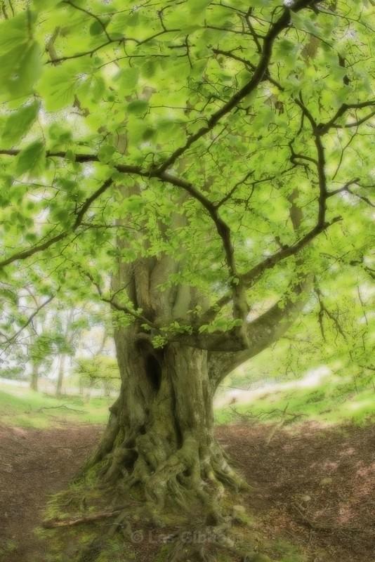 beech tree - Perthshire