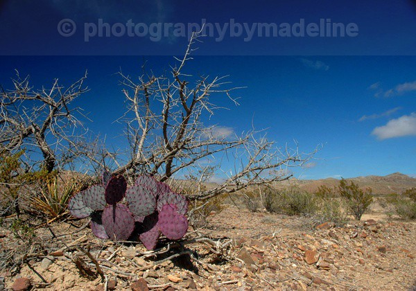 Purple Cactus - Landscapes