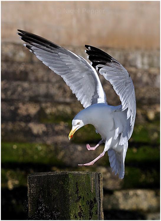March 2nd 2009 ( 1 ) - Leggy the Herring Gull