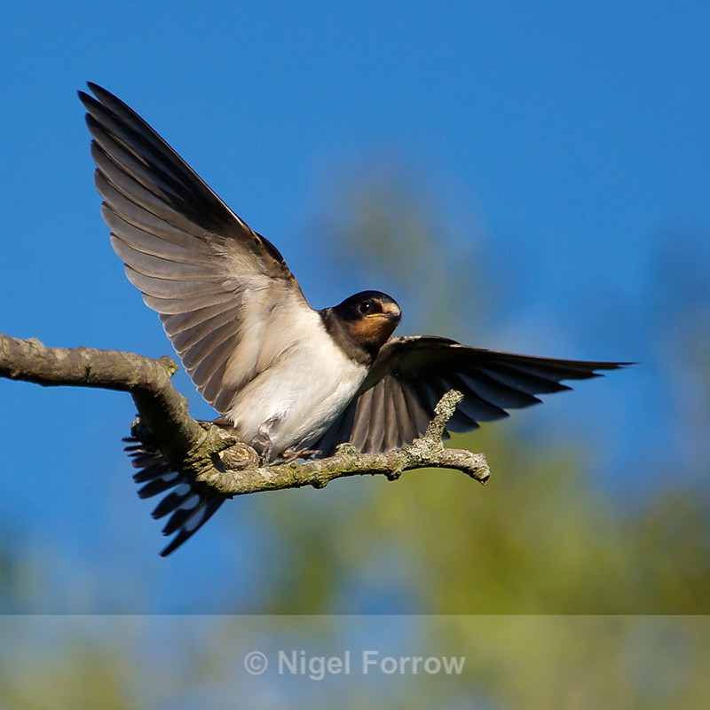 Swallow Landing On A Branch