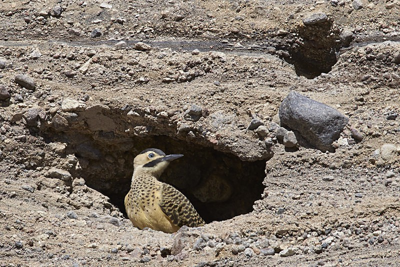 Andean Flicker - Wildlife of Chile