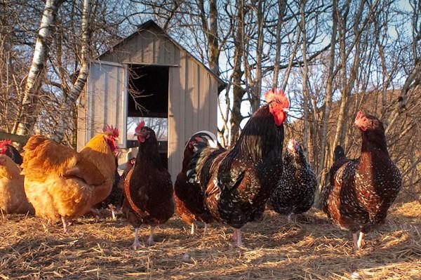 Cockerel & Hens - Rural Life