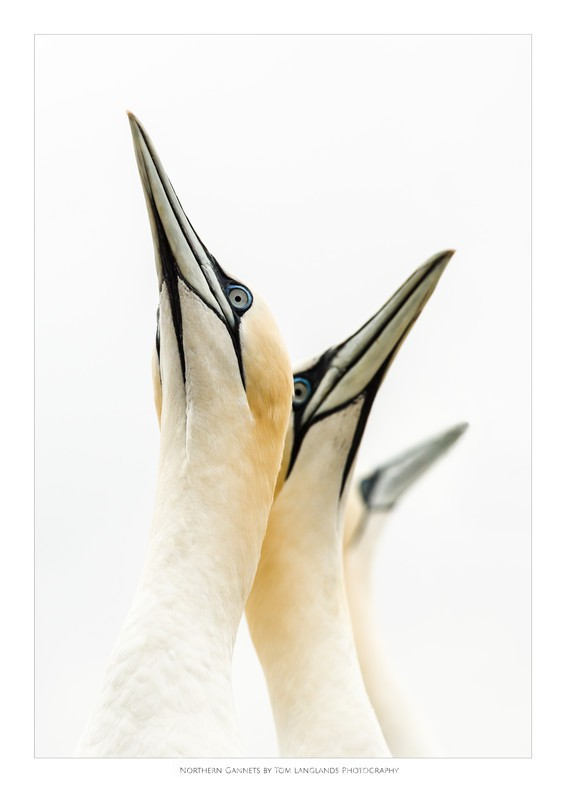 Gannets - Fine Art Prints