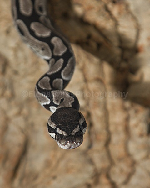 snakes-209 - Reptile Photography