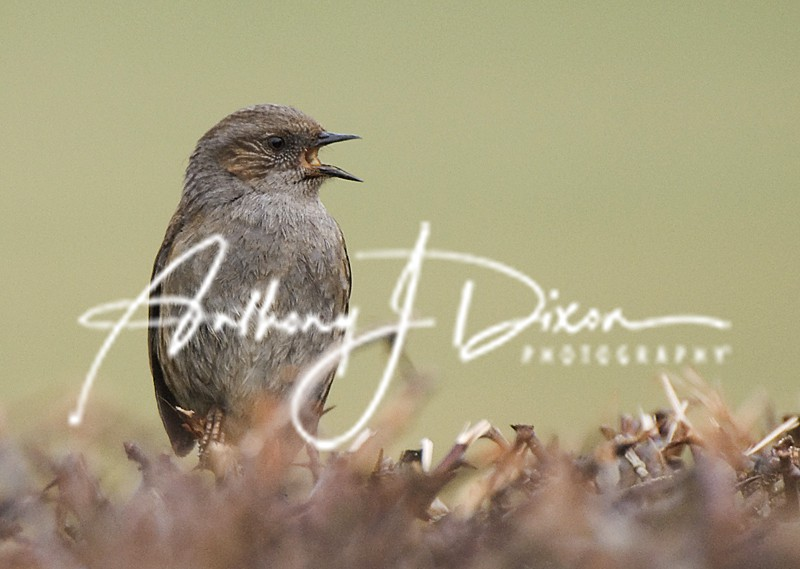 Dunnock - Latest Images