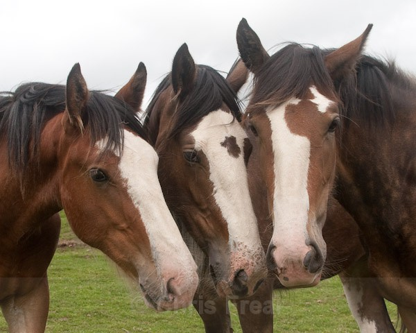 4 - Clydesdales