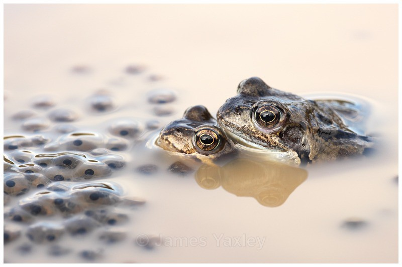 Frogs and Spawn - Amphibians