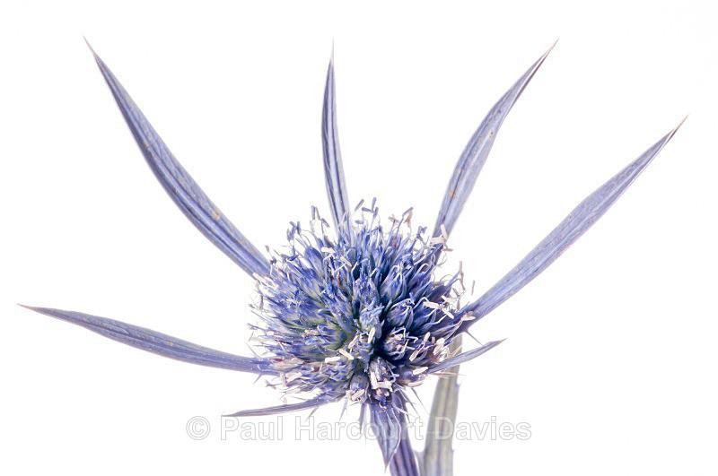 Amethyst Eryngo (Eryngium amethystinum) - Plants - WB