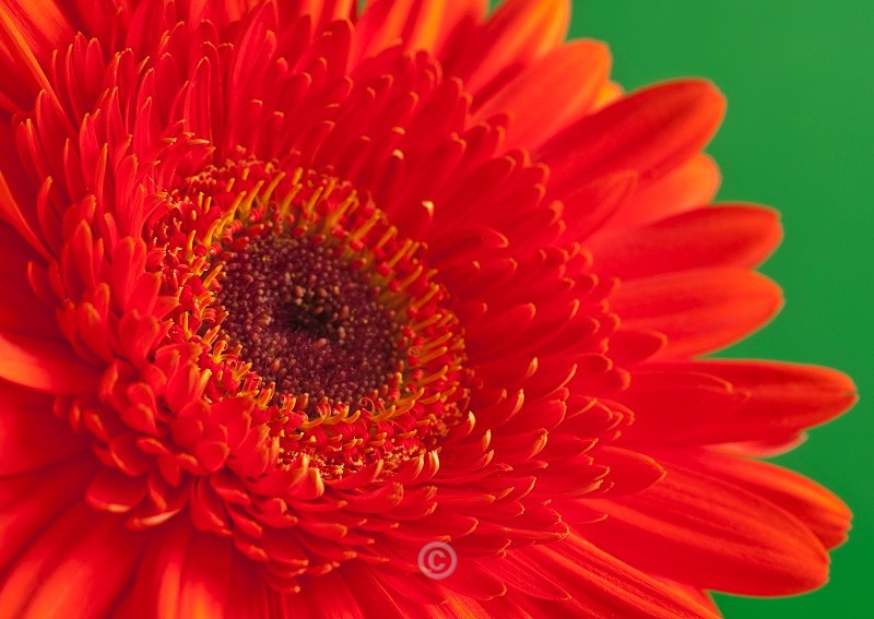 Close up with a Gerbera - FLOWERS