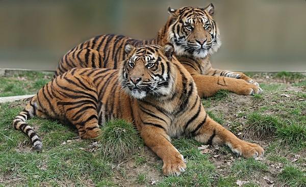 251 ASU & BAWA - BIG CATS